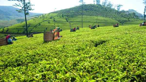 Top Plantation companies in Sri Lanka List 2021 Updated